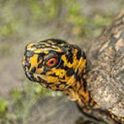 Red Eyed Alabama Box Turtle - Terrapene Carolina Art Print