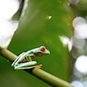 Red Eyed Tree Frog, Agalychnis Art Print