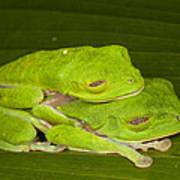 Red-eyed Tree Frogs In Amplexus Sleeping Art Print