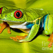Red-eyed Treefrog Art Print