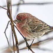 Red Finch Art Print