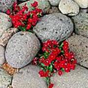 Red Flower In Rocks Art Print