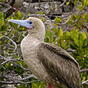 Red-footed Booby Galapagos Islands Art Print