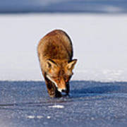 Red Fox Crossing A Frozen Lake Art Print