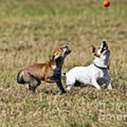 Red Fox Cub And Jack Russell Playing Art Print by Brian Bevan