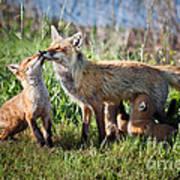 Red Fox Family Art Print