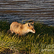 Red Fox Hunting The Edges At Sunset Art Print