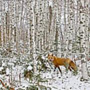 Red Fox In Birches Art Print