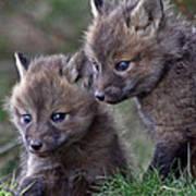 Red Fox Kits Art Print
