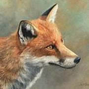 Red Fox Portrait Print by David Stribbling