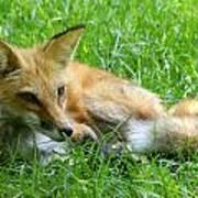 Red Fox Resting Art Print