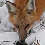 Red Fox Upclose Art Print
