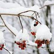Red Fruit With Snow Art Print