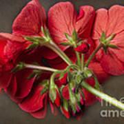 Red Geranium In Progress Art Print
