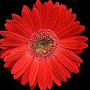 Red Gerber Daisy #2 Art Print