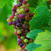 Red Grapes Print by Hannes Cmarits