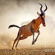 Red Hartebeest Running In Dust Art Print