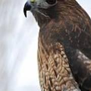Red Hawk I Art Print
