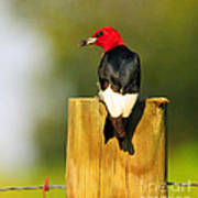 Red-headed Woodpecker Art Print