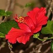 Red Hibiscus Flower Art Print