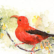 I'iwi - Hawaiian Red Honeycreeper Art Print
