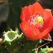 Hot Red Cactus Art Print