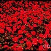 Red Impatiens Flowers Art Print
