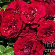 Red Lavaglut Lavaglow Floribunda Roses Art Print