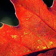 Red Leaf Rising Art Print