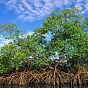 Red Mangrove East Coast Brazil Print by Pete Oxford