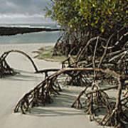 Red Mangrove Root Galapagos Islands Art Print