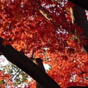 Red Maple 02 Art Print