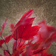 Red Maple Dreams Art Print