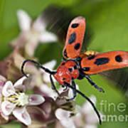 Red Milkweed Beetle Art Print