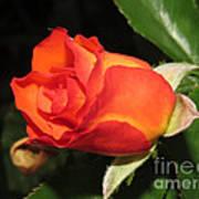 red orange Baby Rose Art Print