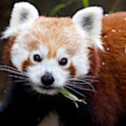 Red Panda  Ailurus Fulgens Eating Art Print
