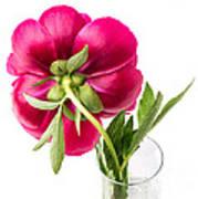 Red Peony Flower Back Art Print
