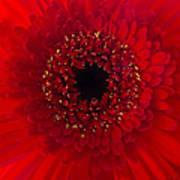 Red Petal Macro 3 Art Print