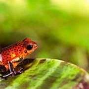 Red Poison Dart Frog Print by Dirk Ercken