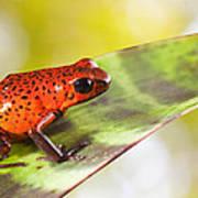 Red Poison Frog Art Print