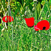 Red Poppies Near Meryem Ana Evi-cottage Believed To Be Mary's Last Home-turkey Art Print