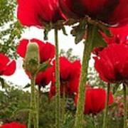 Red Poppy's Art Print