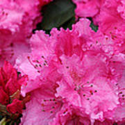Red Rhododendrons Art Print