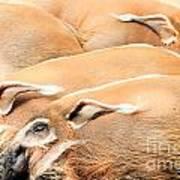 Red River Hogs Potamochoerus Porcus Art Print