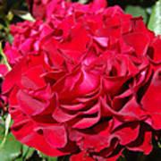 Red Rose Art Prints Big Roses Floral Art Print