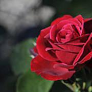 Red Rose Dark Art Print by Roger Snyder