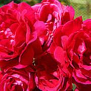Red Rose Garden Art Prints Roses Art Print