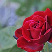 Red Rose Light Art Print by Roger Snyder