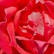 Red Rose Macro Art Print