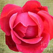 Red Rose Of Love Art Print